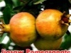 Jigsaw Pomegranate